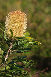Banksia Flower, Proteaceae family - Early morning walk through Noosa National Park; Noosa Heads, Sunshine Coast, Queensland, Australia; Tuesday 2 November 2010.