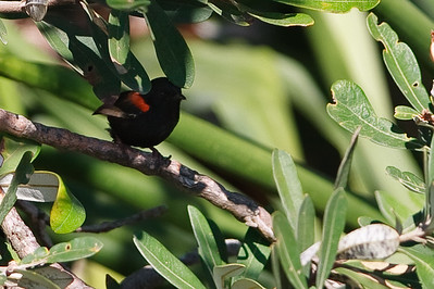 Red Backed Fairy Wren (Malurus melanocephalus) - Early morning walk through Noosa National Park; Noosa Heads, Sunshine Coast, Queensland, Australia; Tuesday 2 November 2010.