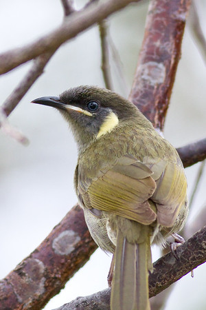 "Lewin's Honeyeater (Meliphaga lewinii) - Birds - Noosa National Park, Noosa Heads, Sunshine Coast, Queensland, Australia; on a very cool, overcast 9 June 2011. Photos by Des Thureson:  <a href=""http://disci.smugmug.com"">http://disci.smugmug.com</a>."