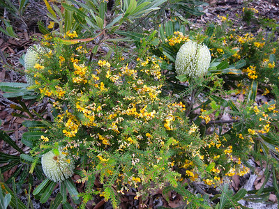 Classic Wallum / Dry Heath country: Wallum Banksia (Banksia aemula) and  Heathy Parrot Pea (Dillwynia retorta) together - Flowers, Trees & Landscapes - Noosa National Park. Point and Shoot Camera pics. Day 3 - Sunday afternoon.