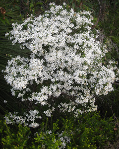 Wedding Bush (Ricinocarpos pinifolius) - Flowers, Trees & Landscapes - Noosa National Park. Point and Shoot Camera pics. Day 3 - Sunday afternoon.