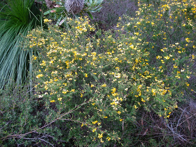 Heathy Parrot Pea (Dillwynia retorta) - Flowers, Trees & Landscapes - Noosa National Park. Point and Shoot Camera pics. Day 3 - Sunday afternoon.