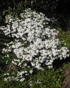 Wedding Bush (Ricinocarpos pinifolius) - Flowers, Trees & Landscapes - Noosa National Park. Point and Shoot Camera pics.