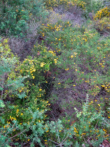 Possibly another Heathy Parrot Pea (Dillwynia retorta)? - Flowers, Trees & Landscapes - Noosa National Park. Point and Shoot Camera pics. Day 3 - Sunday afternoon.