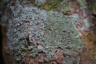 Presumably Lichens - Plants, Lichens, Birds & Dragons - Burleigh Heads National Park, 31 December 2011, Gold Coast, Queensland, Australia. Photos by Des Thureson: http://disci.smugmug.com