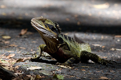Eastern Water Dragon (Physignathus lesueurii lesueurii) - Dragons & Birds at Burleigh Heads National Park, Friday 11 November 2011. Photos by Des Thureson:  http://disci.smugmug.com.