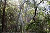 More 'open' woodland on the eastern side/half of Noosa National Park, Sunshine Coast, Queensland, Australia; 13 July 2010.