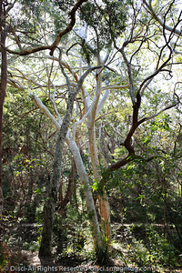 More 'open' woodland on the eastern side/half of Noosa National Park, Sunshine Coast, Queensland, Australia; 13 July 2010.