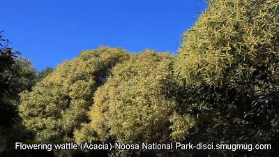 Short SD Video: Beautiful flowering Wattle (Acacia)