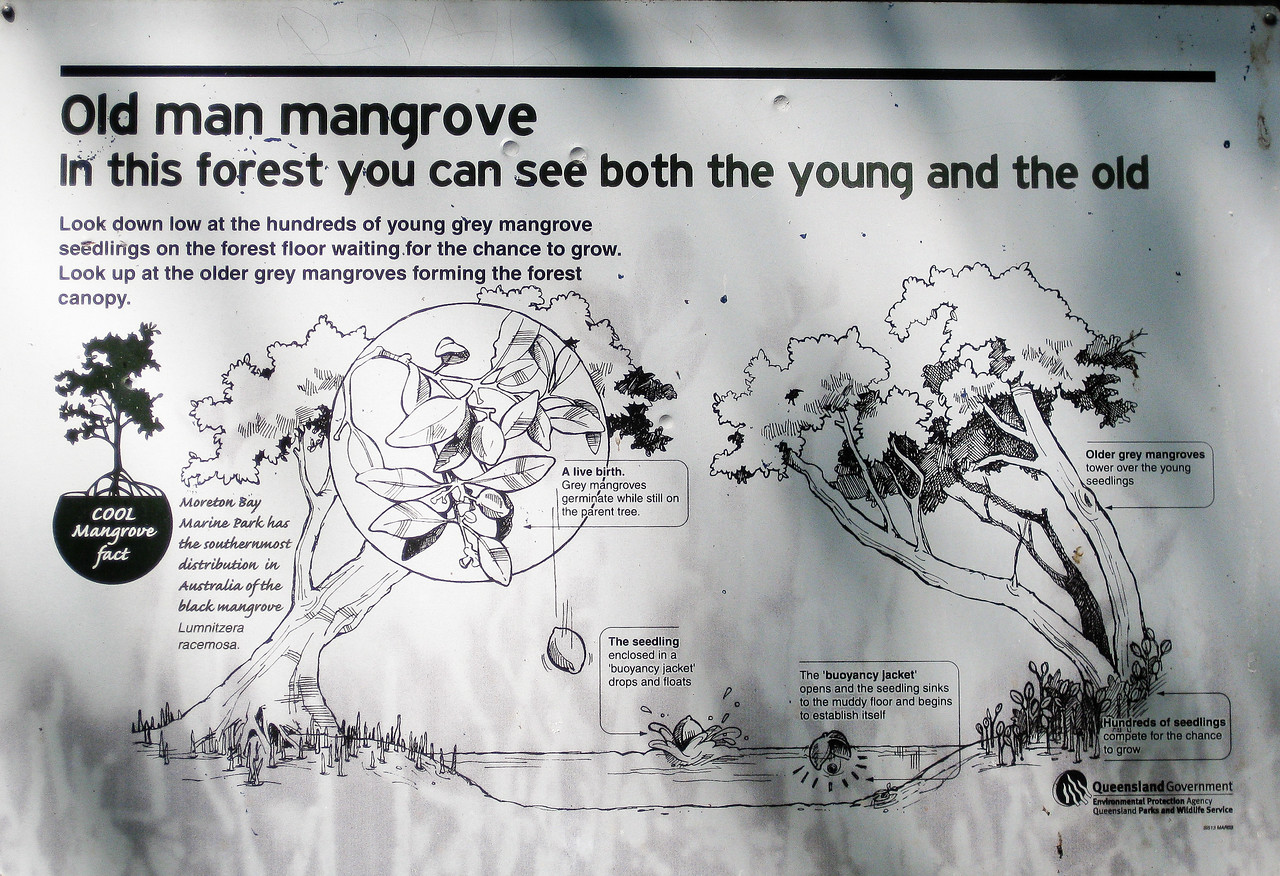 Mangrove Information - Wynnum Mangrove Boardwalk & Wynnum North Reserve; Wynnum North, Brisbane, Queensland, Australia; 17 October 2012. Photos by Des Thureson