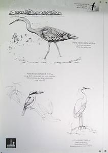 Shorebird Information - Wynnum Mangrove Boardwalk & Wynnum North Reserve; Wynnum North, Brisbane, Queensland, Australia; 17 October 2012. Photos by Des Thureson