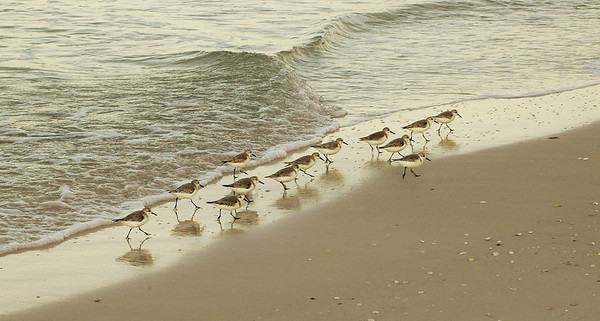 Sanderlings running in front of the waves.  Sarasota, FL.