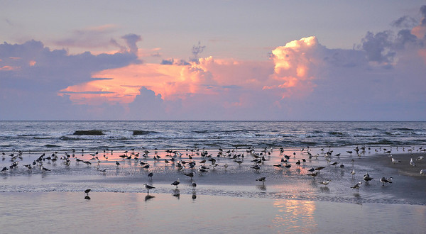 Seagulls congregating at sunrise, Hilton Head Island, SC.
