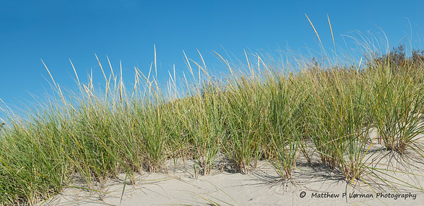 345 plant Am Beach Grass