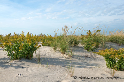 362 Dune Seaside Goldenrod Oct232012_0308