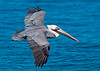 Brown Pelican shows some breeding colors in pouch.    Wingspan is 79 inches.  This healthy robust bird is in strong contrast to those that lost their lives in the Gulf this past year.   It saddens me greatly to think about our selfcenteredness as a species.