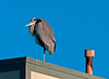 Great Blue Heron perched in the early morning sun.   Breeding plumage in evidence.