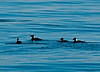 Two pair of Surf Scoters in San Diego Bay as we ease out to Point Loma.
