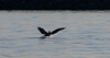Brown Pelican amphibious landing