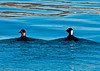 Surf Scoters - female on left, male on right... notable swollen bill.   Surf Scoters are seaducks that winter in San Diego.  Their summer range is Alaska and northwestern Canada.  This was my first ever view of a Surf Scoter!