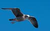 An immature gull... an inevitable challenge to Bird ID skills.