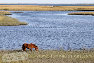 A wild horse on Carrot Island at Rachel Carson preserve.