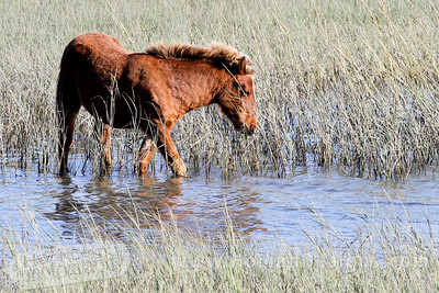 Young wild pony on Carrot Island near Beaufort, N.C.