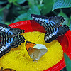 The main attraction, of course, are the hundreds of vibrant, colorful butterflies and moths. These are drinking at one of the water stations. The common name for the larger variety is Blue & Brown Clipper Butterfly.