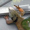 The unofficial mascot for the Cockrell Center is this big Iguana lizzard. He's about 5 feet long and is lazy. Seems all he wants to do is lay around and soak up the sun.