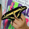 From time to time, butterflies or moths will land for a while on the human visitors. This is a Thoas Swallowtail Butterfly.