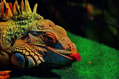 Cockrell_Butterfly_Center_Charro_the_Lizzard_D71_4824