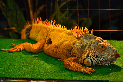 Charro, the resident iguana