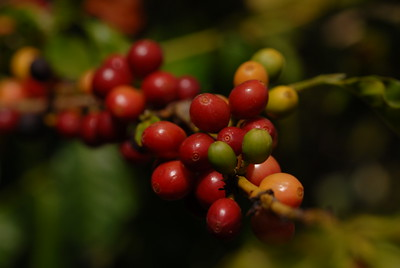 © Joseph Dougherty. All rights reserved.   Coffee cherries, close-up.  Coffea arabica, coffee plants bearing fruit, grown in full sun in the red Hawaiian volcanic soil.