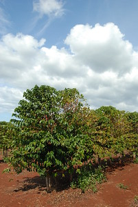 © Joseph Dougherty. All rights reserved.   Coffea arabica, coffee plants bearing fruit, grown in full sun in the red Hawaiian volcanic soil.