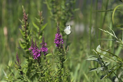 Cabbage butterfly and loosestrife