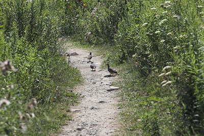 Doves on the path
