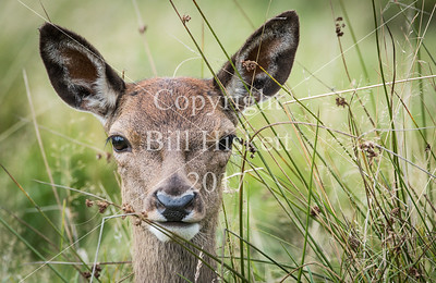 Young deer at Tatton Park
