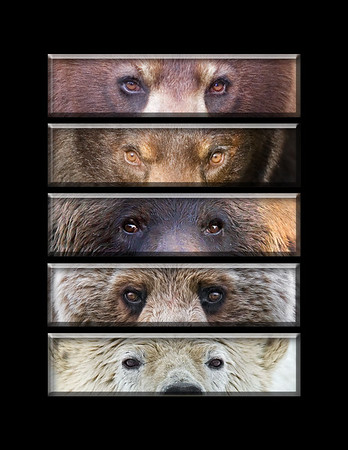 "This is a series of different bear eye images (black, black, coastal brown, grizzly, polar).  Note: If purchasing this photo it should only be ordered in 8""x10"" or 16""x20"" for appropriate aspect ratio.     This photograph is protected by the U.S. Copyright Laws and shall not to be downloaded or reproduced by any means without the formal written permission of Ken Conger Photography."