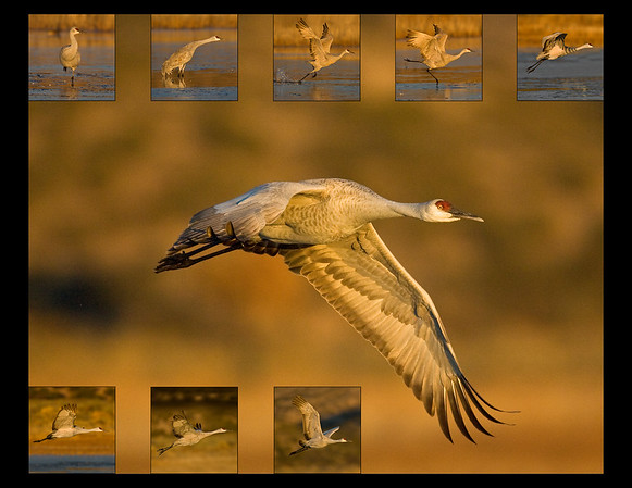 "This composite photograph was captured in Bosque Del Apache NWR, New Mexico.  The photo is a series showing a Sandhill Crane from a stationary position to full flight, taking off from one of the pools within the refuge (11/09). Note: If purchasing this photo it should only be ordered in 8""x10"" or 16""x20"" for appropriate aspect ratio.   This photograph is protected by the U.S. Copyright Laws and shall not to be downloaded or reproduced by any means without the formal written permission of Ken Conger Photography."