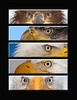 "This is a series of different Bald Eagle eye images (First year eagle, 4th year eagle, Bald Eagle (mature), Bald Eagle (mature), Bald Eagle (mature).  Note: If purchasing this photo it should only be ordered in 8""x10"" or 16""x20"" for appropriate aspect ratio.     <FONT COLOR=""RED""><h5>This photograph is protected by the U.S. Copyright Laws and shall not to be downloaded or reproduced by any means without the formal written permission of Ken Conger Photography.<FONT COLOR=""RED""></h5>"