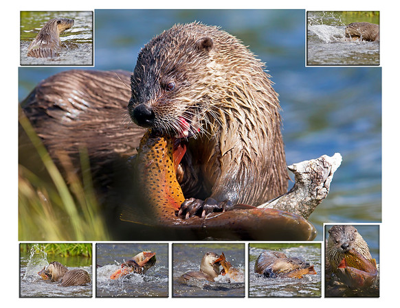 "Spent the week hiking to a lake where an otter could be seen once a day catching cutthroat trout.  My hope was to capture this very sequence (6/12). Note: If purchasing this photo it should only be ordered in 8""x10"" or 16""x20"" for appropriate aspect ratio. This photograph is protected by the U.S. Copyright Laws and shall not to be downloaded or reproduced by any means without the formal written permission of Ken Conger Photography."