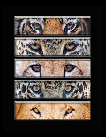 "This is a series of different cat eye images (tiger, leopard, cheetah, jaguar, lion).  Note: If purchasing this photo it should only be ordered in 8""x10"" or 16""x20"" for appropriate aspect ratio.     This photograph is protected by the U.S. Copyright Laws and shall not to be downloaded or reproduced by any means without the formal written permission of Ken Conger Photography."