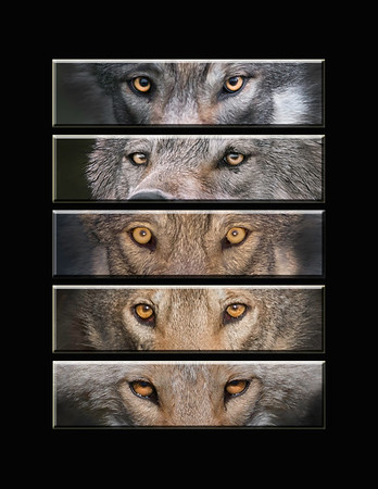 "This is a series of different wild  (Alaska) wolf eye images.  Note: If purchasing this photo it should only be ordered in 8""x10"" or 16""x20"" for appropriate aspect ratio.     This photograph is protected by the U.S. Copyright Laws and shall not to be downloaded or reproduced by any means without the formal written permission of Ken Conger Photography."