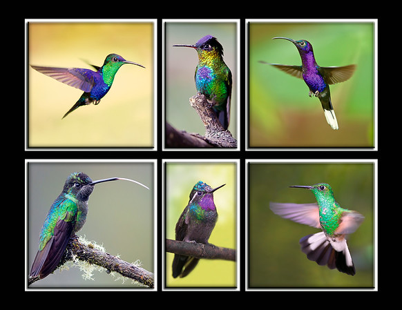 "This collection of Hummingbirds was captured within Costa Rica (4/12).  They are from upper left to lower right: Violet Crowned Woodnymph, Fiery-throated, Violet Sabrewing, Magnificent, Purple-throated Mountain Gem & Striped-tailed.  Note: If purchasing this photo it should only be ordered in 8""x10"" or 16""x20"" for appropriate aspect ratio.   This photograph is protected by the U.S. Copyright Laws and shall not to be downloaded or reproduced by any means without the formal written permission of Ken Conger Photography."