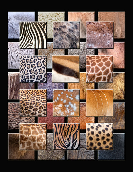 """This is a collection of different animal furs: 1) Mountain Goat 2) Polar Bear 3) Topi 4) Rhino 5) Zebra 6) Hyena 7) Elk Fawn 8) Coyote 9) Caribou 10) Dik Dik 11) Hippo 12) Jaguar 13) Tompson's Gazelle 14) Reticulated Giraffe 15) Wildebeest 16) Wart Hog 17) Lion 18) Moose 19) Leopard 20) White-tailed Deer fawn 21) Eland 22) Beaver 23) Orangutan 24) Marmot 25) Cape Buffalo 26) Masai Mara Giraffe 27) Tiger 28) Cheetah 29) Muskox 30) Baboon 31) Elephant 32) Black Bear Note: If purchasing this photo it should only be ordered in 8""""x10"""" or 16""""x20"""" for appropriate aspect ratio.     This photograph is protected by the U.S. Copyright Laws and shall not to be downloaded or reproduced by any means without the formal written permission of Ken Conger Photography."""