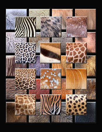 "This is a collection of different animal furs: 1) Mountain Goat 2) Polar Bear 3) Topi 4) Rhino 5) Zebra 6) Hyena 7) Elk Fawn 8) Coyote 9) Caribou 10) Dik Dik 11) Hippo 12) Jaguar 13) Tompson's Gazelle 14) Reticulated Giraffe 15) Wildebeest 16) Wart Hog 17) Lion 18) Moose 19) Leopard 20) White-tailed Deer fawn 21) Eland 22) Beaver 23) Orangutan 24) Marmot 25) Cape Buffalo 26) Masai Mara Giraffe 27) Tiger 28) Cheetah 29) Muskox 30) Baboon 31) Elephant 32) Black Bear Note: If purchasing this photo it should only be ordered in 8""x10"" or 16""x20"" for appropriate aspect ratio.     This photograph is protected by the U.S. Copyright Laws and shall not to be downloaded or reproduced by any means without the formal written permission of Ken Conger Photography."