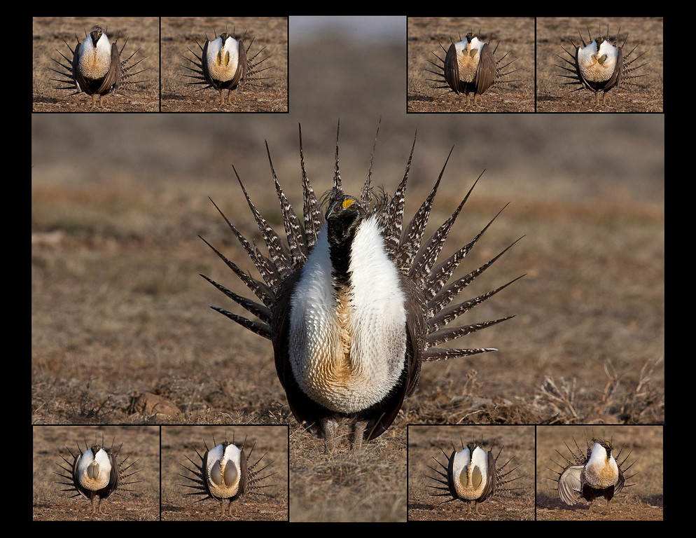 "This photograph of an entire sequence of a displaying male Sage Grouse was captured on a lek or booming ground near Walden, Colorado (4/10).  Note: If purchasing this photo it should only be ordered in 8""x10"" or 16""x20"" for appropriate aspect ratio.         This photograph is protected by the U.S. Copyright Laws and shall not to be downloaded or reproduced by any means without the formal written permission of Ken Conger Photography."