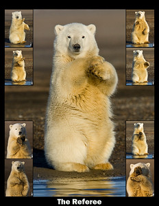 "This photograph of a Polar Bear cub was captured in the Arctic National Wildlife Refuge (ANWR), Alaska.  He performed a number of hand signals similar to a football official  and thus titled the image ""The Referee"" (9/10).   Note: If purchasing this photo it should only be ordered in 8""x10"" or 16""x20"" for appropriate aspect ratio.  This photograph is protected by the U.S. Copyright Laws and shall not to be downloaded or reproduced by any means without the formal written permission of Ken Conger Photography."