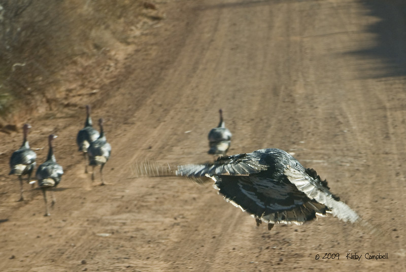 20090103_Turkeys_0196_wm
