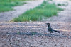 True to his name, a Roadrunner, in a road.
